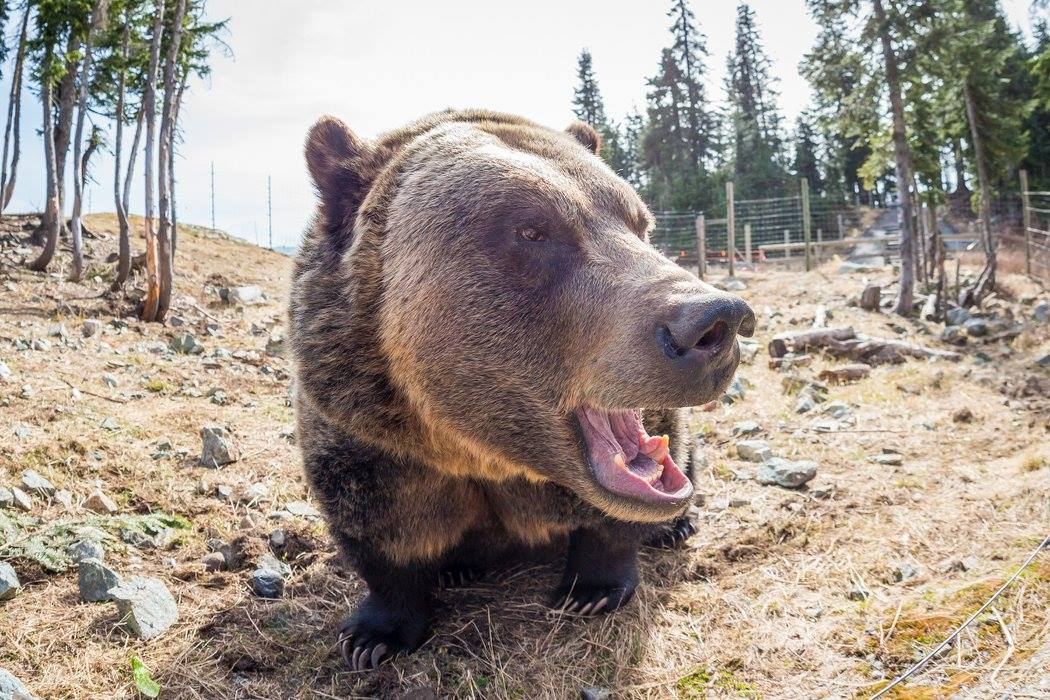grouse mountain grizzly bear 6