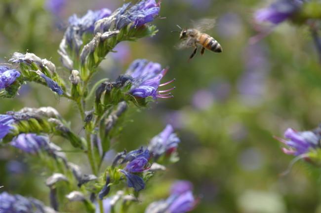 Honeybee in flight (Image: Brian Campbell)