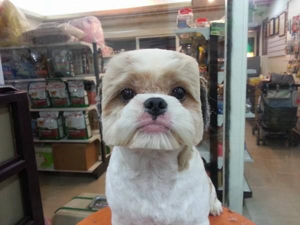 square-round-dog-haircut-taiwan-2