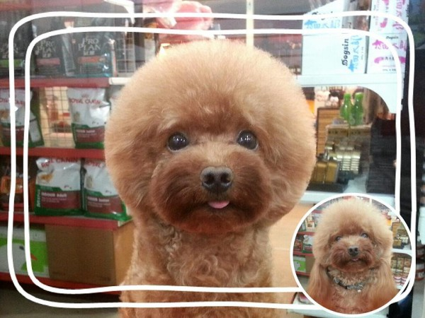 square-round-dog-haircut-taiwan-7