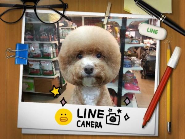 square-round-dog-haircut-taiwan-8