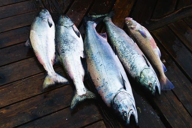 Wild Chinook Salmon/Shutterstock