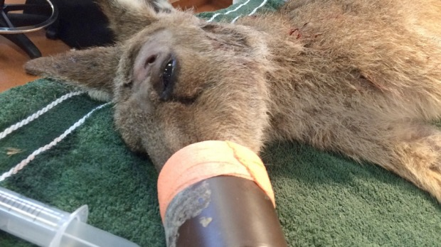 Image: Australia Zoo Wildlife Hospital