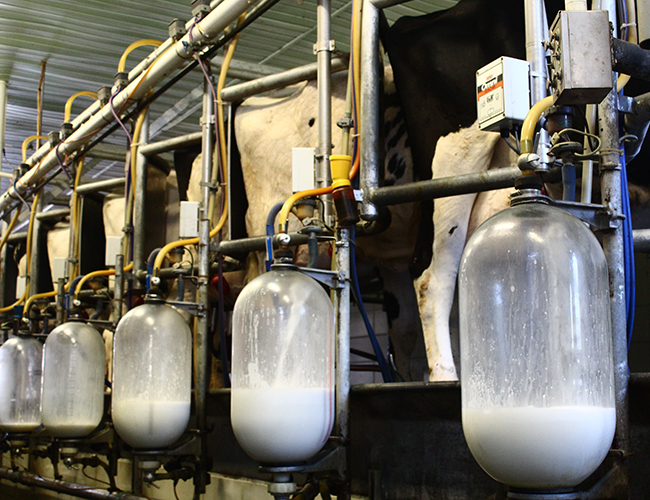 Six cows being milked (Jen Muranetz)