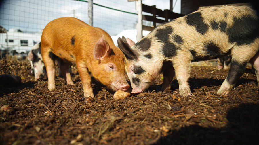 The lovely heritage pigs at Urban Digs Farm. (Julia Smith)