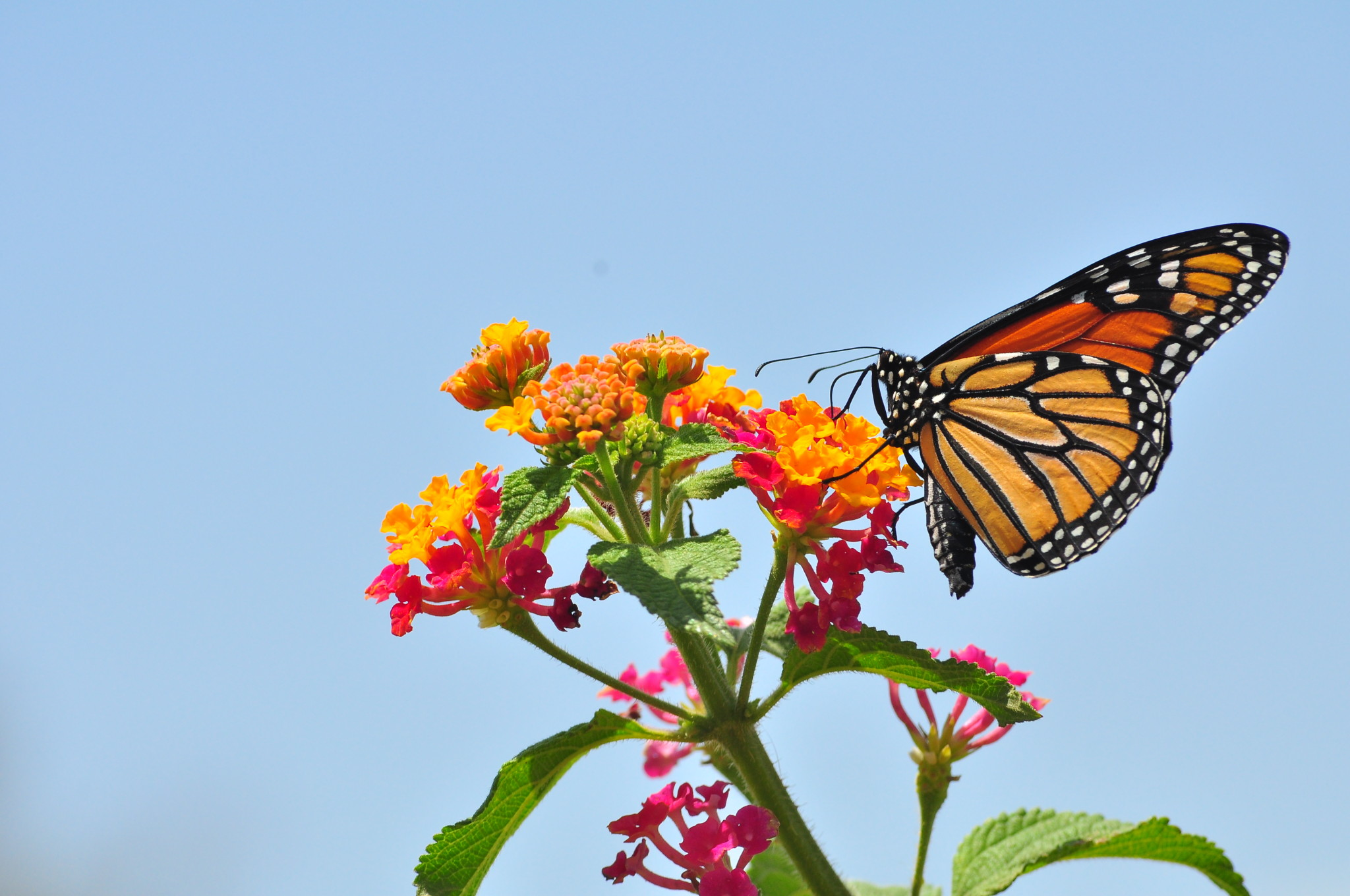 Monarch of the Mistflower (TexasEagle/Flickr)