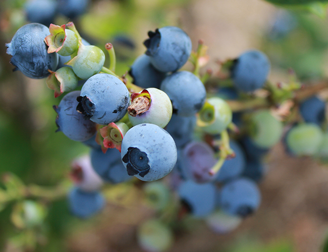 Blueberries at Driediger Farms (Jen Muranetz)