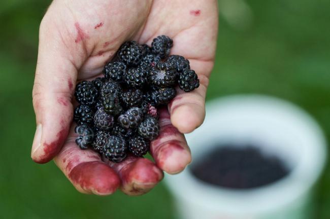 Picking berries (Chiot's Run/Flickr)