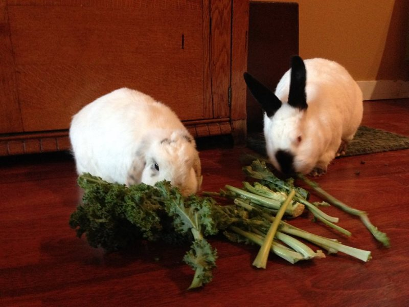 Ana eating greens with her new rabbit sibling Myrtle.