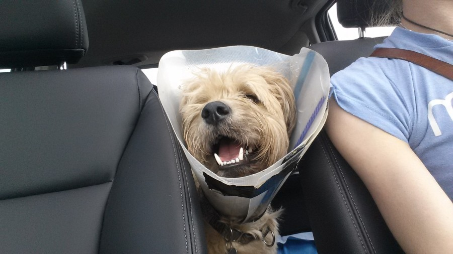 Smiling, even in a cone (Julie Godin).