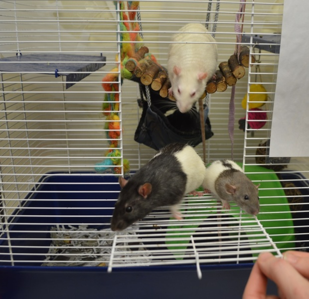 Fancy rats up for adoption (Photo by Small Animal Rescue Society)