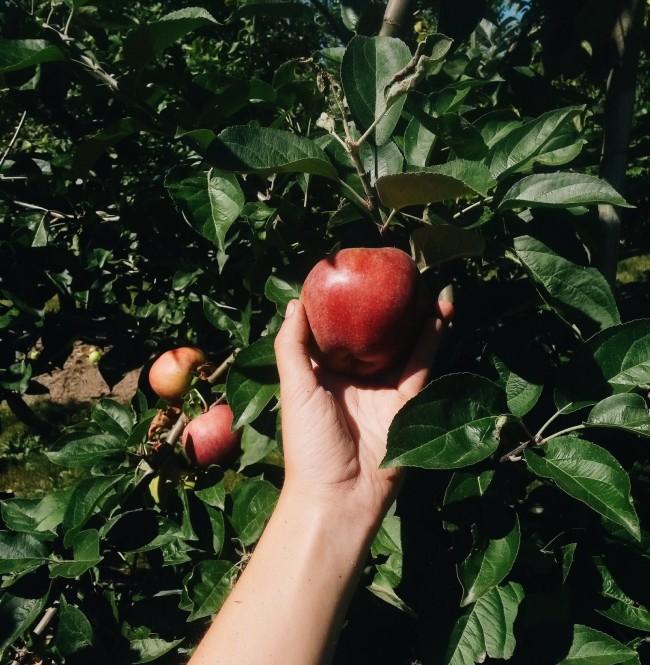 Apple Picking Cheryl Siemens, Willow View Farms