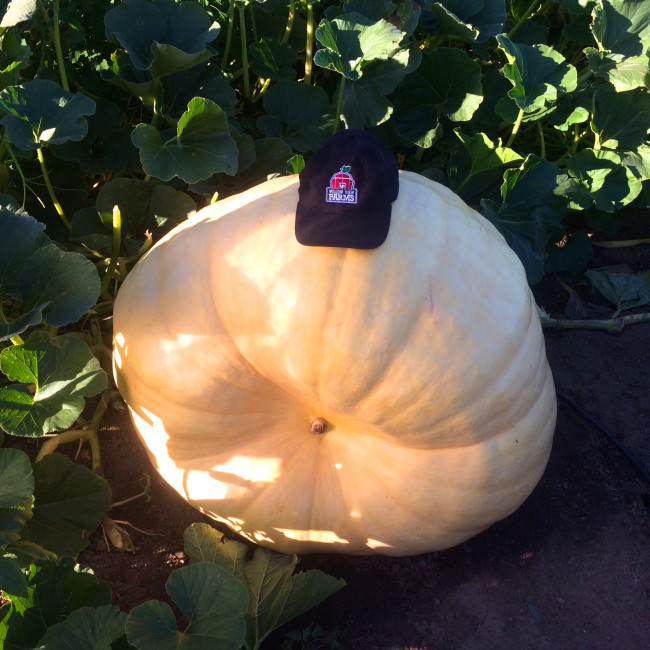 This year's giant pumpkin, weighing over 440lbs (Cheryl Siemens, Willow View Farms)