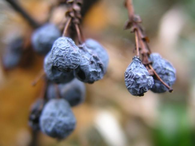 Sunburnt blueberries (Edward Moore / Flickr)
