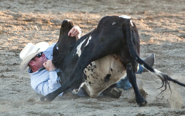 Steer-wrestling at Abbotsford Rodeo (Vancouver Humane Society)