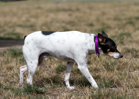 Kip, a rat terrier, is up for adoption (SARC)