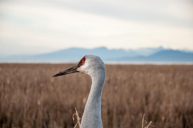 Reifel Bird Sanctuary (Matthew Grapengieser/Flickr)