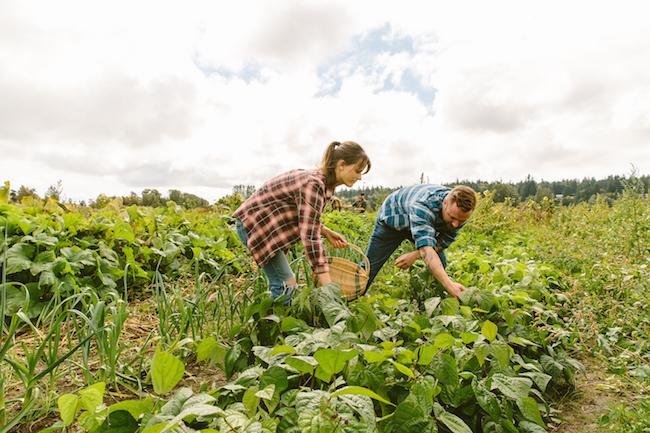 Earthwise's Charlotte Konken and Chill Winston's Derek Bothwell harvest in the fields (Photo courtesy Chill Winston)