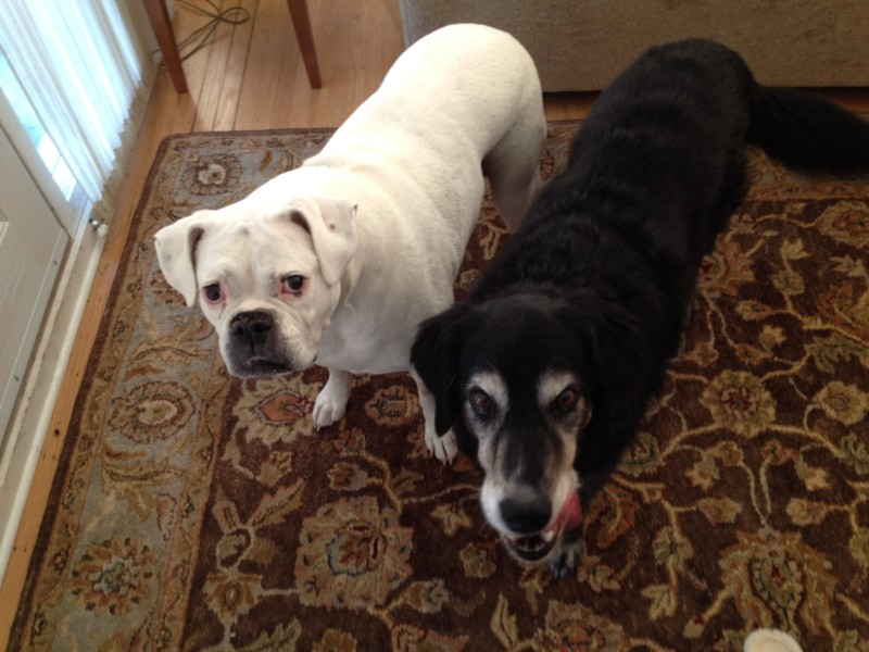 Renny and foster buddy Brandy.