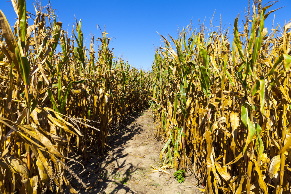 Corn maze via Shutterstock