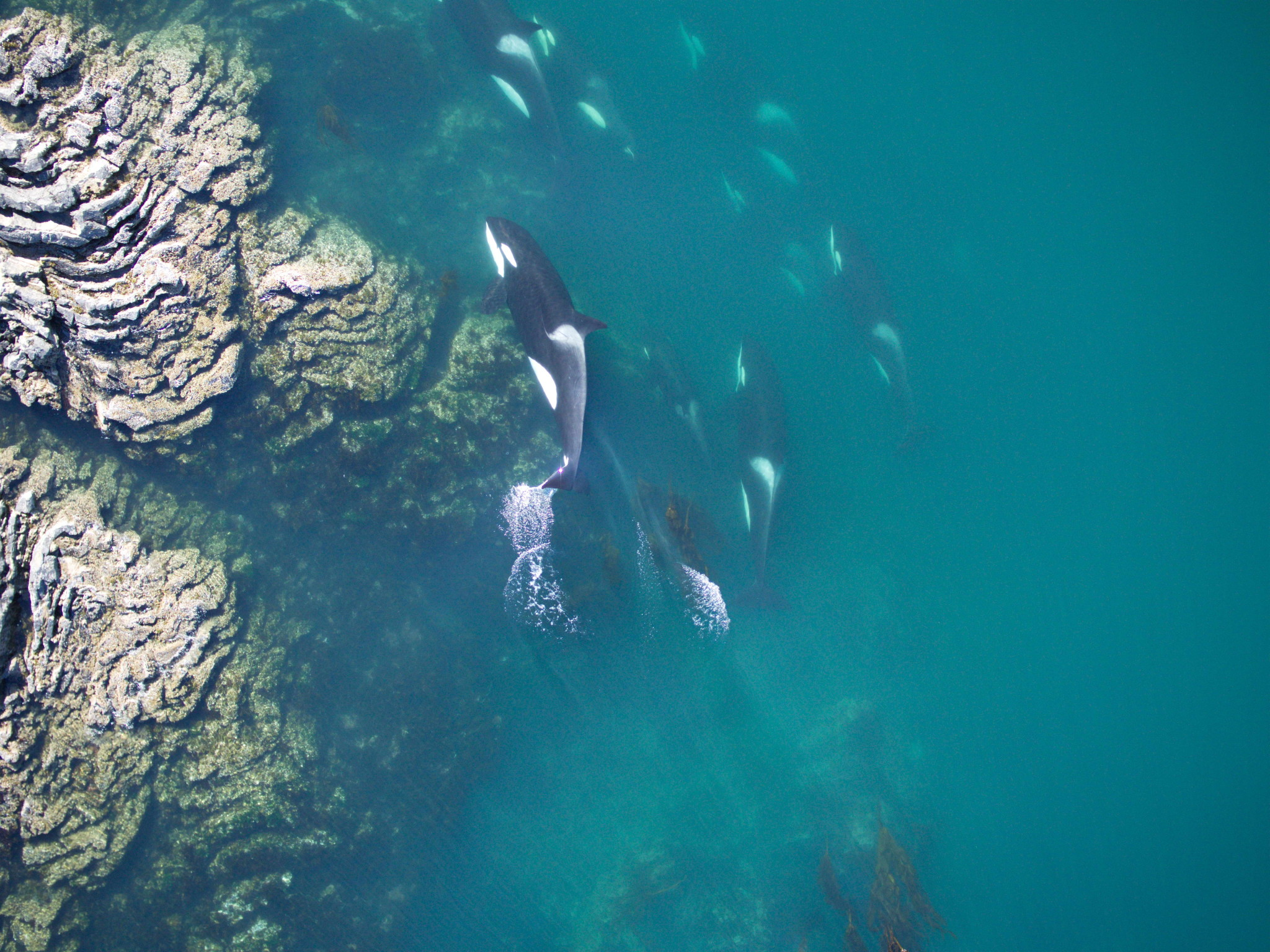 photo: NOAA/ Vancouver Aquarium