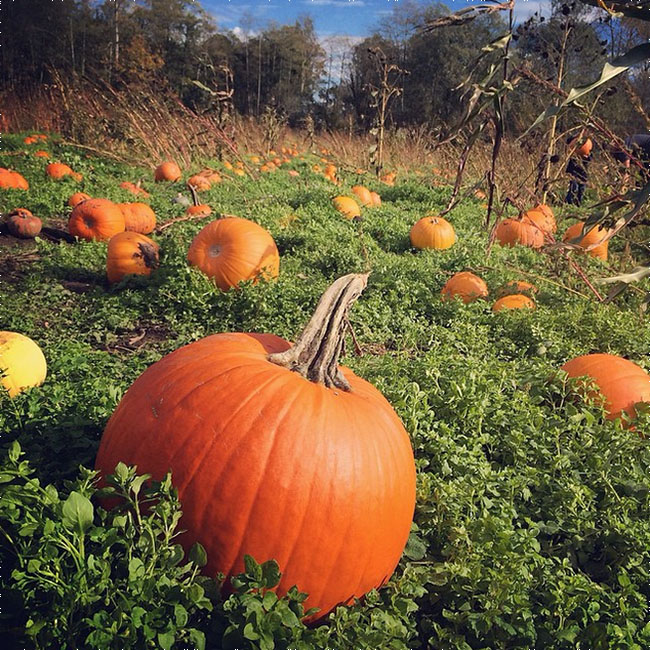 Hazelmere-Pumpkin-Patch-Instagram