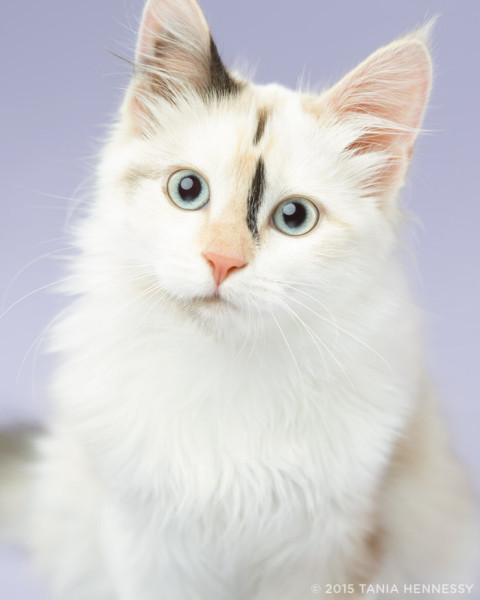 The photo of Luna used on Modern Cat Magazine. (Tania Hennessy)