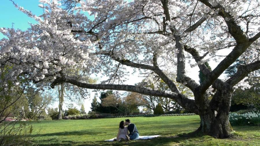 The Tree Inside Cherry Blossom