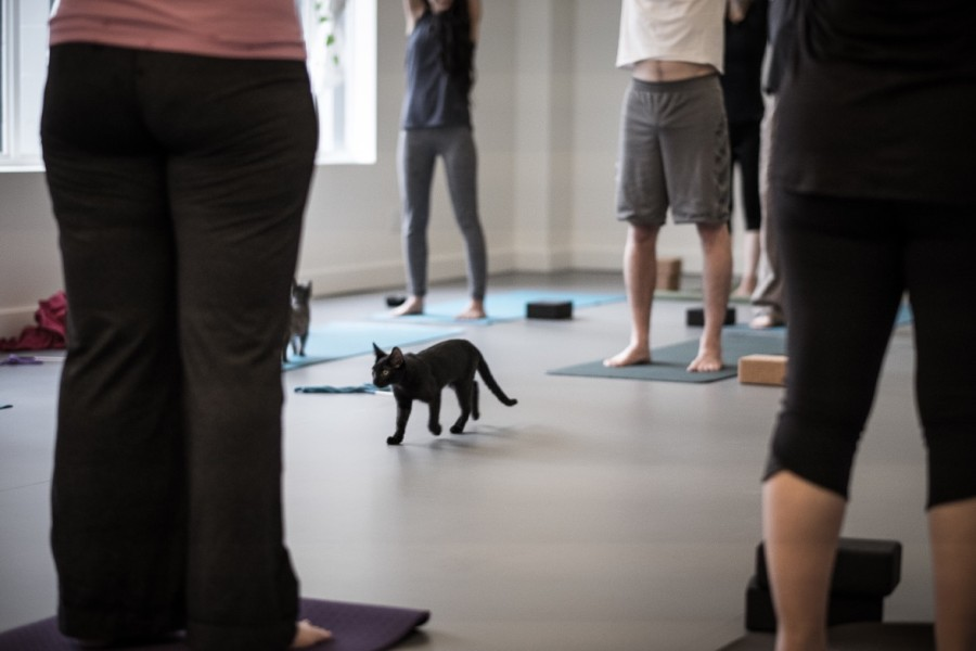 The Stretch Yoga cat event held in Sept. 2015. (Jordan Yerman)