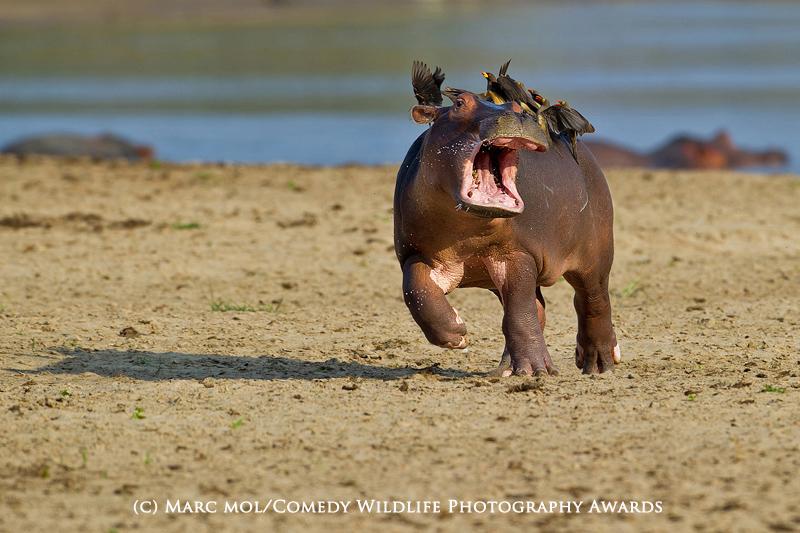 Help Mum! Marc Mol/Comedy Wildlife Photography Awards