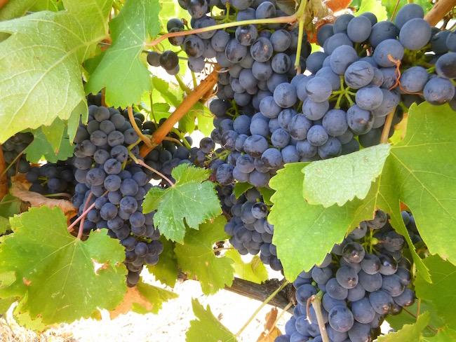 Grapes at the Black Sage vineyard in the Okanagan (Lindsay William-Ross/Vancity Buzz)