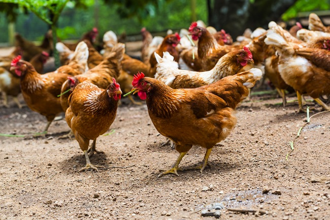 Cage free chickens/Shutterstock