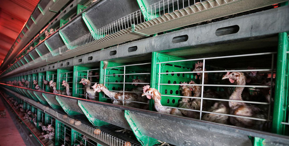 Enriched hen cages (Change.org)