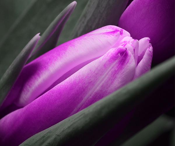 Tulips/Pixabay