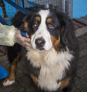 One of the pups seized from a Langley property in Feb. 4. (SPCA)