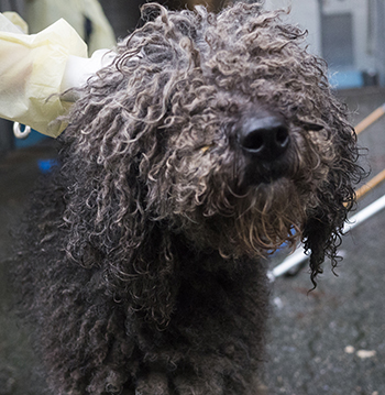 One of the matted dogs seized by the SPCA.