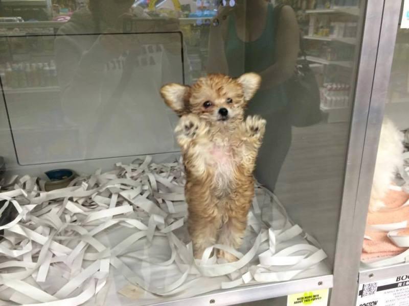 A lone puppy for sale at Pet Habitat in Burnaby. (Jordyn Croft)