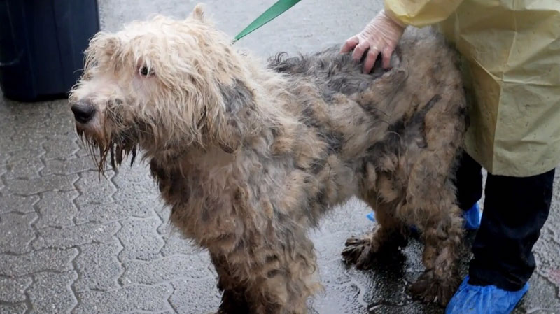 One of the 66 dogs seized from a Langley breeder in Feb. by the BC SPCA. (SPCA)