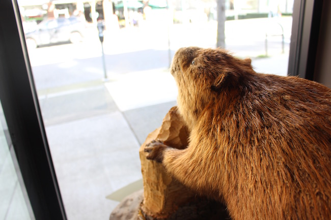 Deaner the Beaver watches over Robson Street (Lindsay William-Ross/Vancity Buzz)