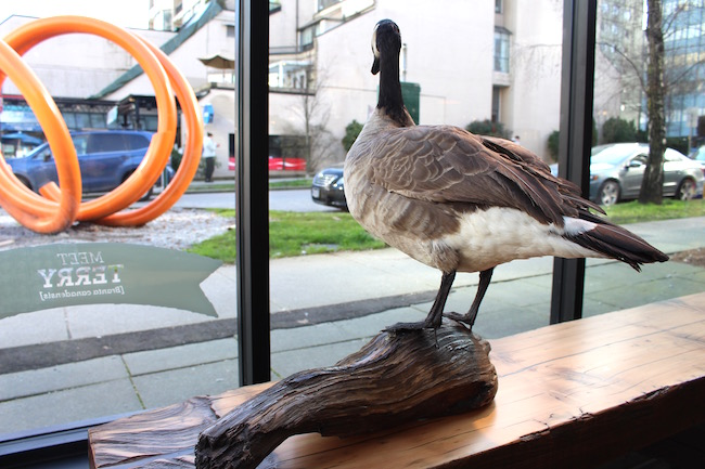 Terry the Canada Goose peers out over Jervis (Lindsay William-Ross/Vancity Buzz)