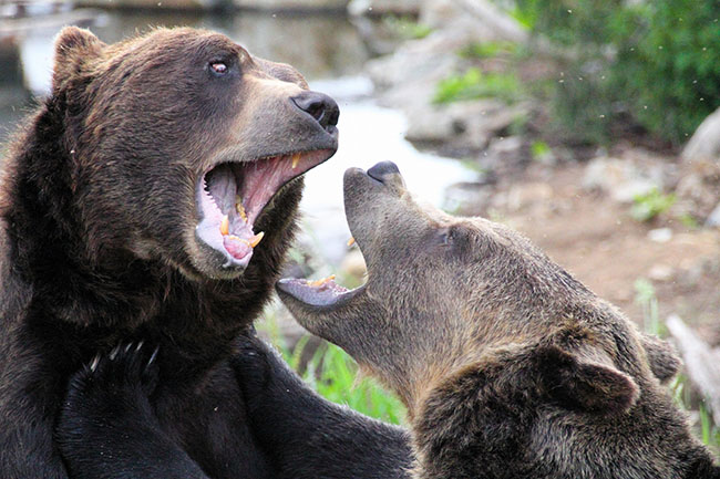 Bears in North Vancouver (Jack/TheVancouverGuy/Flickr)