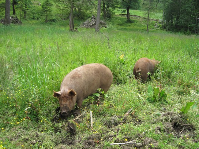 PIgs at SMF (Sumas Mountain Farms)