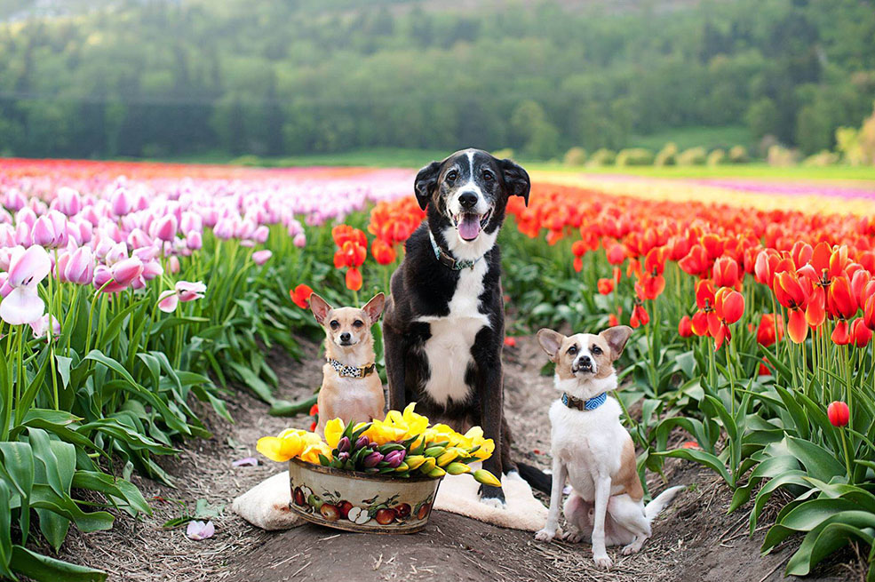 Angel, Nyx and Hero at the Abbotsford Tulip Festival. For real. (Melissa Shaw)