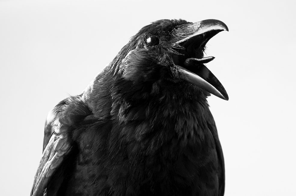 Are most of the crows in Burnaby going to be culled? No. (redpip1984/Shutterstock)