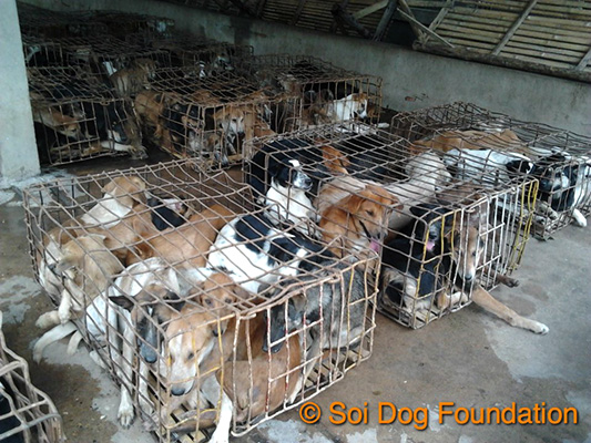 Dogs packed into crates in Thailand (Soi Dog)