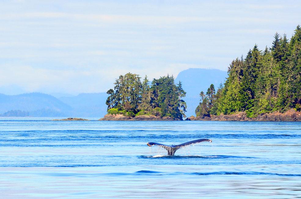 Humpback whale near Vancouver Island (Regien Paassen/Shutterstock)