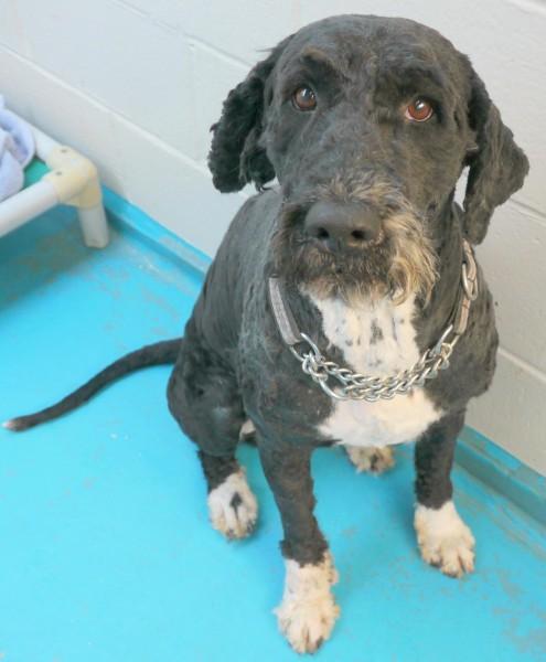 Scared Obi in shelter (Vancouver SPCA)