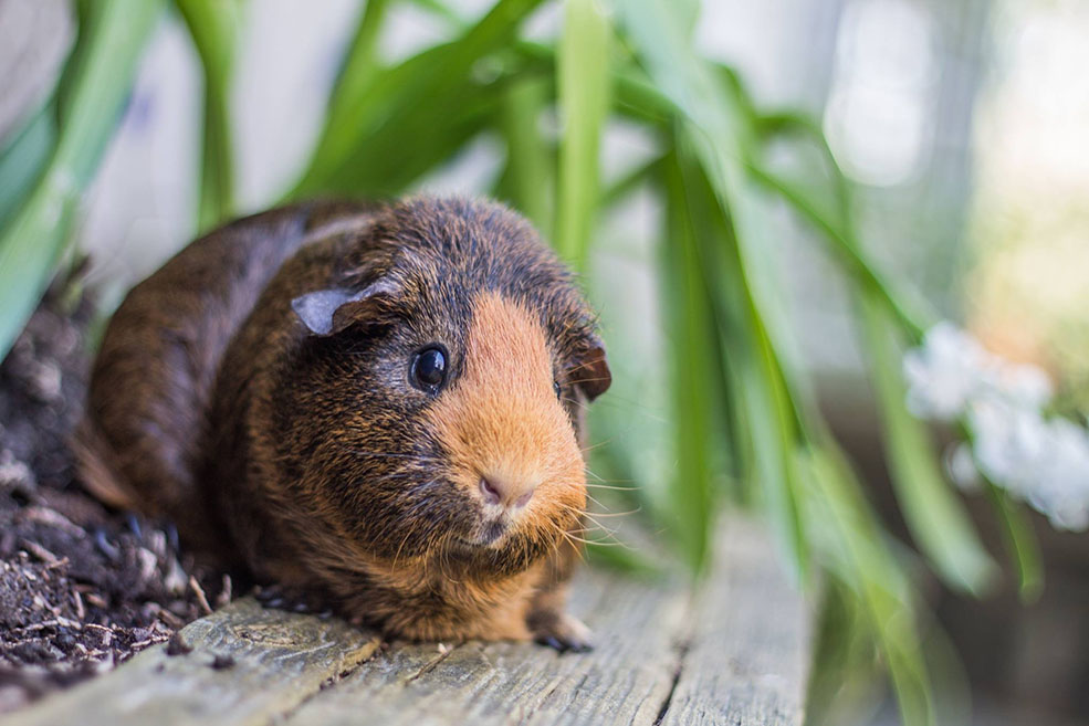 Jorge the guinea pig is easily bribed (Monika Kwiatkowski)