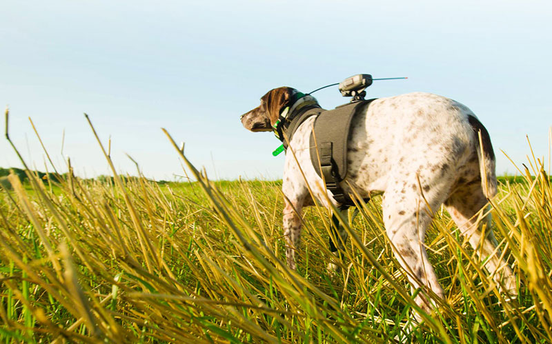 Garmin dog harness with VIRB camera, courtesy Garmin.