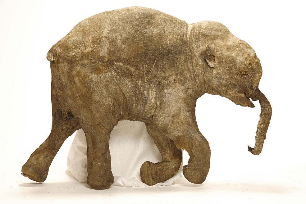 Lyuba's trunk collapsed when she died. Scientists theorize that the baby mammoth was trapped in silt and eventually suffocated. (© International Mammoth Committee / Francis Latreille)